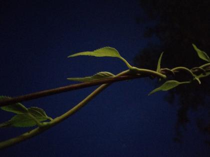 夜叶子.jpg