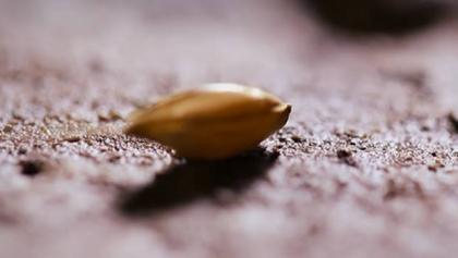 一粒麦子.jpg